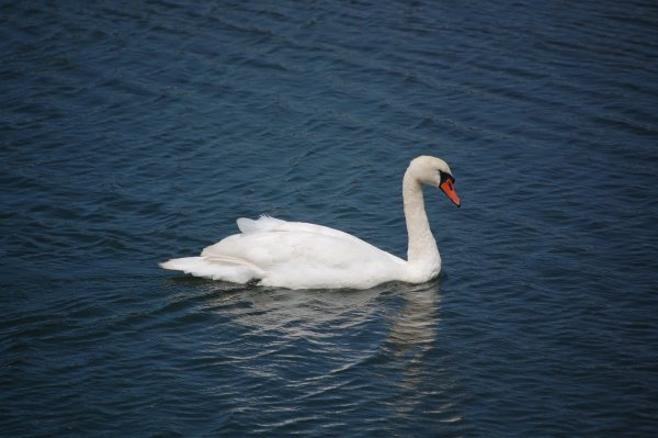 A swan in Hayle